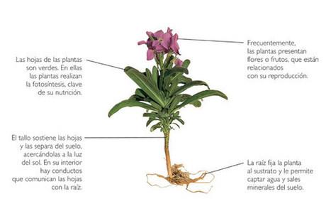 Las plantas: partes y funciones | EPDN | partes de la planta | Scoop.it