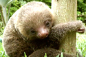 This Is What Baby Sloths Sound Like, And It Will Destroy You | A Sense of the Ridiculous | Scoop.it