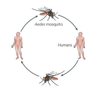 Dengue : les personnes asymptomatiques participent à la transmission du virus | EntomoNews | Scoop.it