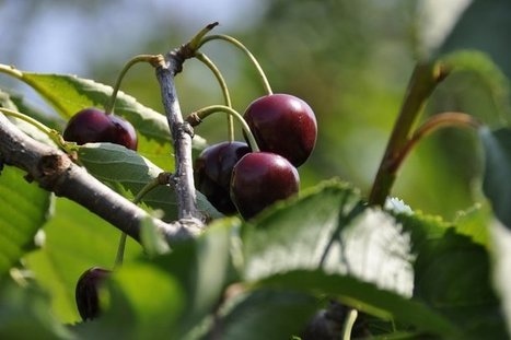 Yonne : les producteurs de cerises s'inquiètent pour leurs récoltes après l'interdiction d'un insecticide contre la suzukii - France 3 Bourgogne | Comprendre le réel intérêt de produire une agriculture BIO en France plutôt que d'importer des produits présentant un label pas vraiment Certifié. | Scoop.it