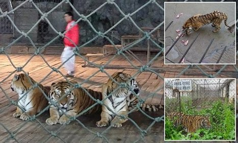 Tigers left to starve to death in cages then boiled up to make wine | Plant Based Transitions | Scoop.it
