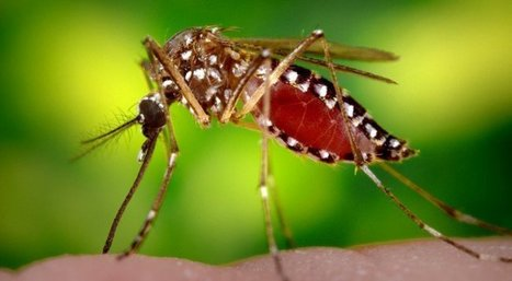 Millions Of Genetically Modified Mosquitoes Set To Be Released: This Is Why It's A Problem | Discover Sigalon Valley - Where the Tags are the Topics | Scoop.it