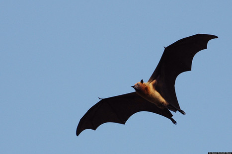 Bats And Man: Our Love-Hate Relationship | 100 Acre Wood | Scoop.it