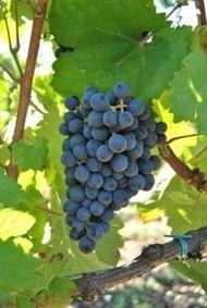 Torres revives ancestral varieties | Vitabella Wine Daily Gossip | Scoop.it