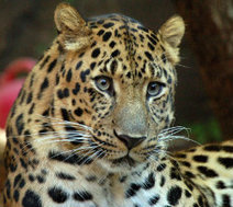 Endangered Amur Leopard Faces Extinction - Animal Life | Animal Life | Scoop.it