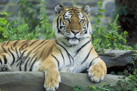 Tigers Declared Extinct in Cambodia - Conservation Articles & Blogs - CJ | Wildlife and Conservation | Scoop.it