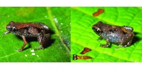 Record de petite taille battu chez les grenouilles | Merveilles - Marvels | Scoop.it