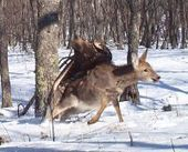 Cameras capture eagle killing deer in Russia   Science Facts   Scoop.it