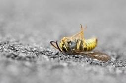 Honteux : Mortalité des abeilles par les pesticides : l'Europe s'en fout ! | Le monde des abeilles | Scoop.it