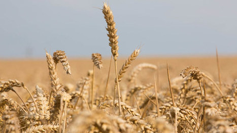 JIC mention: Cereals 2015: Five scientific advances to help boost wheat yields | BIOSCIENCE NEWS | Scoop.it
