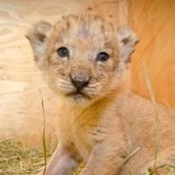 Oregon Zoo seeks help in naming Neka's lion cubs | Oregon Zoo Babies | Scoop.it