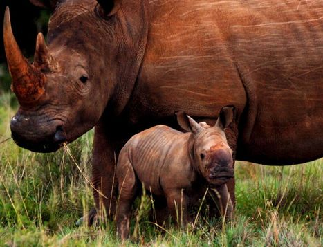 """Rhino Says, """"Please don't Quit on me!"""" 