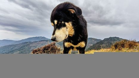 Dogs may have been domesticated more than once | New Science | Scoop.it