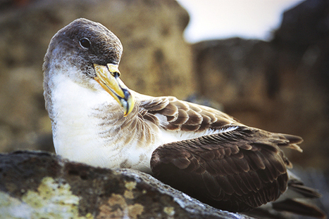 #Biologists Are Using 'Mission: Impossible' Techniques to #Save the World's Wildlife #Shearwaters #Azores | Rescue our Ocean's & it's species from Man's Pollution! | Scoop.it