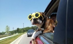 26 Amazing Pictures of Dogs Enjoying Summertime! | Boston Terrier Dogs | Scoop.it