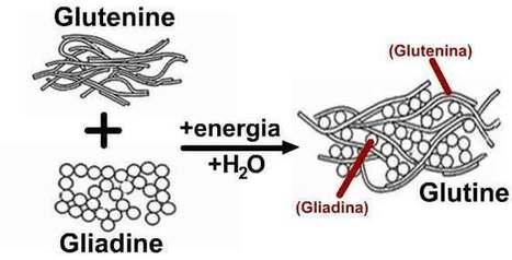 Celiachia: al San Raffaele viene testata molecola antiglutine del ... | senza glutine | Scoop.it