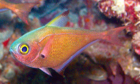 Pempheris flavicycla: Amazing New Tropical Fish Species Discovered in Indian ... - Sci-News.com | Amocean OceanScoops | Scoop.it