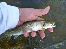 Atlantic Salmon Flies: A Brief Departure - Part I, The Fish   Nova Scotia Fishing   Scoop.it
