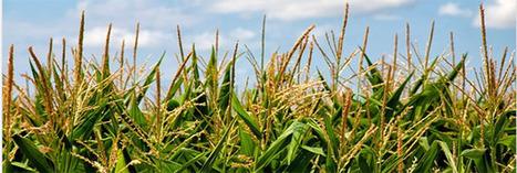 OGM : Dans quels pays sont-ils autorisés ou interdits ? | Economie Responsable et Consommation Collaborative | Scoop.it
