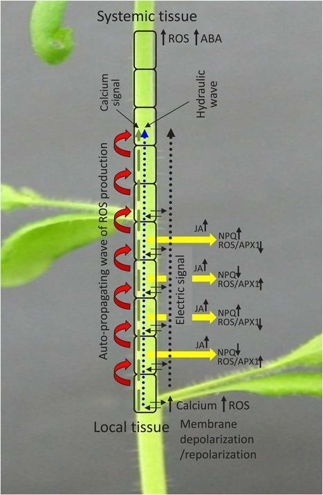 ROS, Calcium, and Electric Signals: Key Mediators of Rapid Systemic Signaling in Plants | Plant-Microbe Symbiosis | Scoop.it