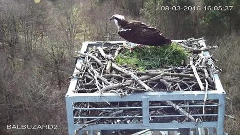 Objectif Balbuzard, en direct du nid | Biodiversité | Scoop.it