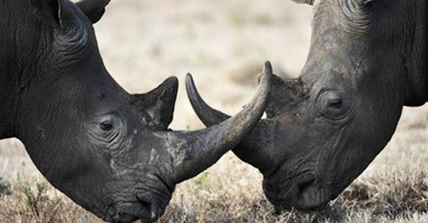 Antiques Dealer Pleads Guilty to Rhino Horn, Ivory Smuggling - Thephilanews   Kruger & African Wildlife   Scoop.it