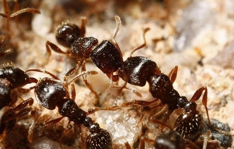 Penn State researchers believe ants can offer human-disease insights | All About Ants | Scoop.it