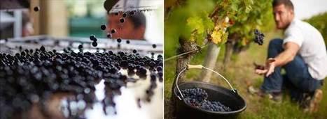Bordeaux Upbeat About Vintage as Harvest Closes | Wine News & Features | Expat Life in Bordeaux, France | Scoop.it