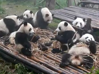 These Bamboo-Munching Pandas Will Cure Your Case of the Mondays (Video)   Share Some Love Today   Scoop.it