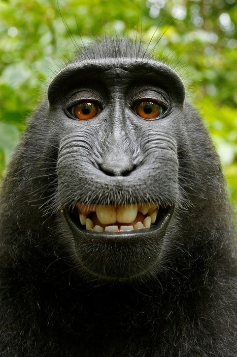 If a monkey takes a selfie in the forest, who owns the copyright? No one, says ... - Washington Post | ANIMAL LATITUDE NEWS | Scoop.it