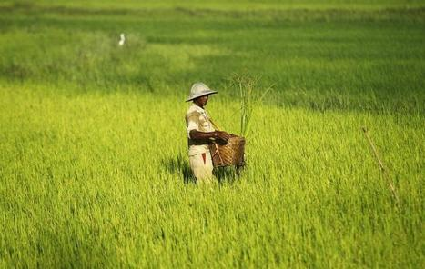 Myanmar's Target Of Exporting 3 Million Tons Of Rice During Fiscal 2014 Is ... - International Business Times   Rural Development Southeast Asia   Scoop.it