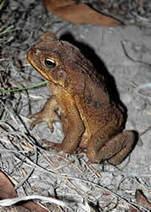 Cane Toads   Cane Toads in Australia   Scoop.it