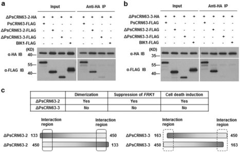 Scientific Reports: A Phytophthora sojae effector PsCRN63 forms homo-/hetero-dimers to suppress plant immunity via an inverted association manner (2016)   microbial pathogenesis and plant immunity   Scoop.it