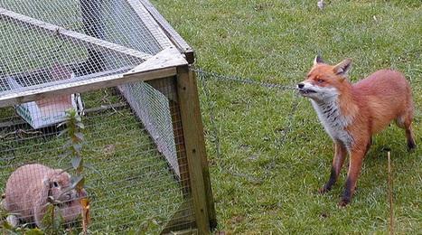Mr Fox wants you to vote for Mr Rabbit   Rossleigh Brisbane   Scoop.it