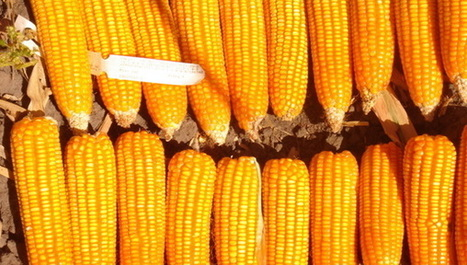Biofortified maize 'could control vitamin A deficiency'   MAIZE   Scoop.it