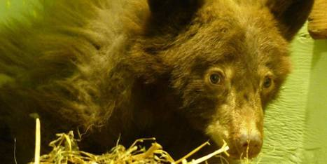 Tinsel, Bear Cub Orphan, Found In Chicken Coop In Midway (VIDEO, PHOTOS) - Huffington Post Canada | Bears | Scoop.it