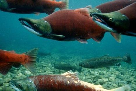 Opinion: Fish farming not a culprit of the declining salmon stocks | Aquaculture | Scoop.it