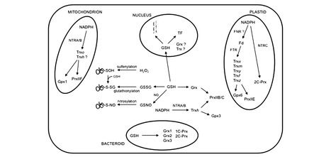 Thiol-based redox signaling in the nitrogen-fixing symbiosis | Rhizosphere interactions | Scoop.it