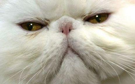 Etats-Unis : terrorisés par leur chat persan - Le Parisien | Chiens et Chats ! | Scoop.it