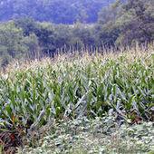 Monsanto recule sur les OGM en Europe | Everything you need… | Scoop.it