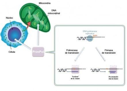 Descubierta una nueva enzima capaz de replicar cadenas de ADN dañadas   Informaria DigitalInformaria Digital   BIOLOGIA   Scoop.it
