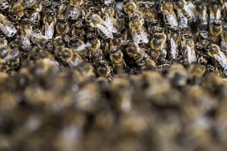 Les vignerons sont-ils responsables de la mort des abeilles? - Tribune de Genève | Abeilles, intoxications et informations | Scoop.it