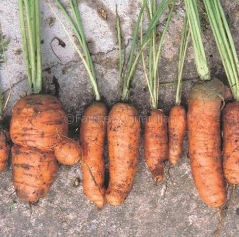 Retailers urged to accept more 'ugly fruit' to reduce food waste - Farmers Guardian | Why It's Okay To Eat Ugly Vegetables | Scoop.it