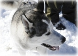 The Power of Teams: A Lesson In Leadership From A Siberian Husky | Surviving Leadership Chaos | Scoop.it