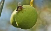 Manipulación genética de la mosca del olivo para su control ...   Protección vegetal   Scoop.it