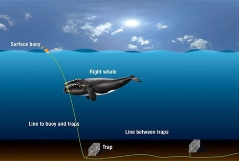Whale's Slow Death Caused By Fishing Gear - RedOrbit | whale conservation | Scoop.it