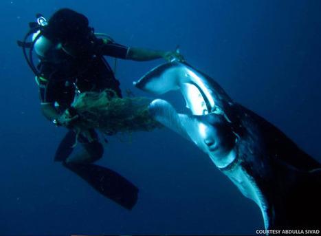Manta Ray Saved by a Divemaster From Bandos   Indigo Scuba   Scoop.it