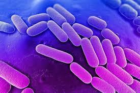Comment une bactérie intestinale polyvalente nous aide à obtenir nos fibres alimentaires. 2014/02/10> BE Canada431> | La vie , la santé en microscopie électronique | Scoop.it
