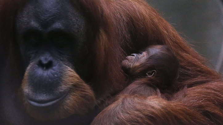 Primatologist warns of possible great ape extinction