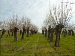Programme de soutien à la plantation d'arbres têtards pour le bois-énergie | Immobilier | Scoop.it